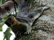印度巨松鼠动作迅猛图片