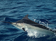 热带剑鱼海面跳跃图片