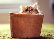 人气宠物茶杯猫图片萌死人