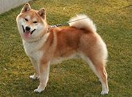 性情温顺的赤色柴犬图片