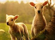 温顺可爱的澳大利亚绵羊图片