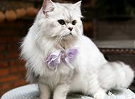 金吉拉猫图片造型优雅可爱