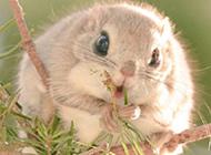 招人喜欢的小鼯鼠图片