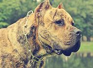 虎斑加纳利犬微距特写图片