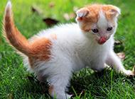 小中华田园猫吐舌头图片