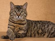 可爱狸花猫姿态高贵图片