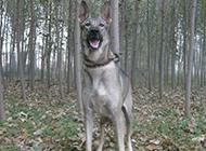昆明狼青犬户外狩猎图片