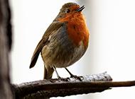 栖息在树林中的知更鸟图片