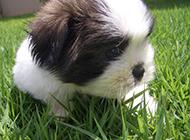 淘气顽皮的拉萨犬图片
