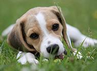 可爱淘气的猎兔犬图片