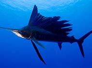 淡水旗鱼图片凶猛霸气