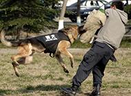 警犬飞扑训练图片尽显霸气