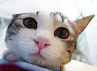 纯种中华田园猫头部特写图片