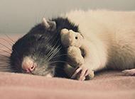 花枝鼠创意写真图片