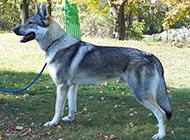 捷克狼犬户外休闲运动图片