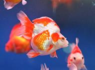 小金鱼色彩斑斓图片