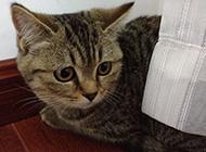 个性独立的成年虎斑猫图片