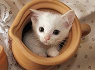 体型娇小的白色茶杯猫图片大全