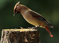 观赏鸟类太平鸟图片鉴赏