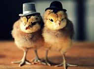 可爱动物萌图小鸡壁纸