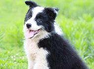 宠物狗边境牧羊犬卖萌图片