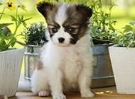 可爱蝴蝶犬幼犬图片壁纸