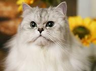金吉拉猫生气图片