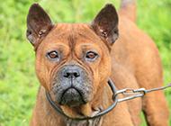 眼神凶猛严肃的川东猎犬图片