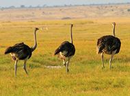 澳洲鸵鸟草原奔跑图片