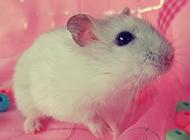 纯白色可爱仓鼠图片萌萌哒