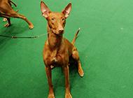 血统高贵的法老王猎犬高清图片
