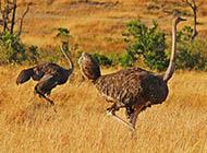 非洲鸵鸟草原奔跑图片