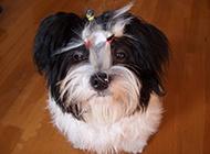 西施犬小狗创意造型图片