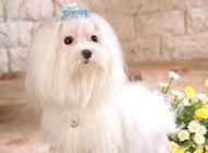 纯种马尔济斯犬优雅装扮图片