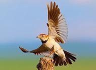 飞翔的百灵鸟图片壁纸精选