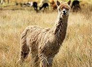 草原自由玩耍的可爱羊驼图片