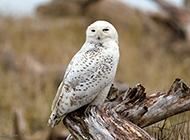 纯白神奇的雪鸮图片