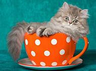 茶杯猫慵懒姿态图片大全