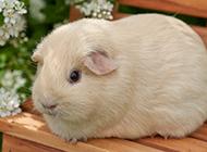 唯美豚鼠可爱乖巧图片大全