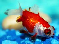 调皮可爱的绣球金鱼图片