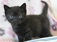 英短猫小巧玲珑图片