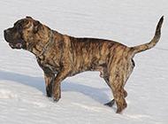 虎斑加纳利犬雪地玩耍图片