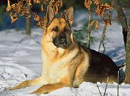 雪地上的德国牧羊犬图片欣赏
