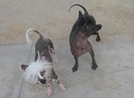 中国冠毛犬搞怪图片