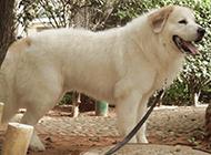 温和友善的成年大白熊犬图片