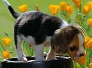 最受欢迎的比格犬可爱调皮写真