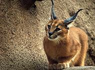 姿态优雅高贵的狞猫图片