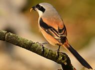 灰背伯劳鸟捕食图片