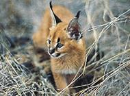 非洲狞猫幼崽野外散步图片