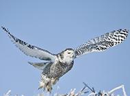 展翅高飞的纯白色雪鸮图片